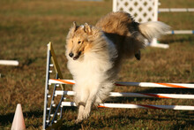 Dog Competing In Agility Contest.
