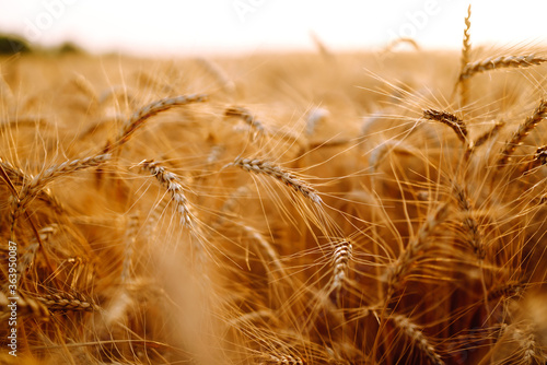 Wheat field. Ears of golden wheat close up. Rich harvest сoncept.
