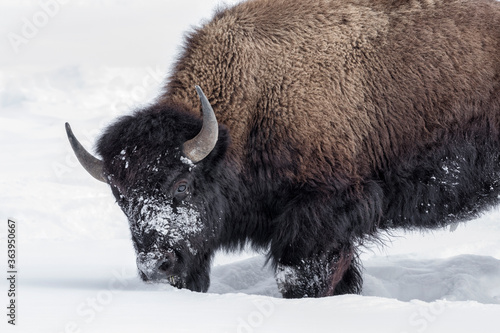Photo American Bison in winters struggle to survive