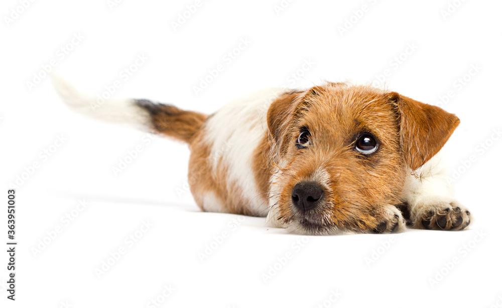 Fototapeta sad dog lies and looks, breed Jack Russell
