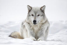 Gray Wolf Resting In Snow