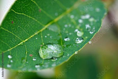 Fototapeta Dewdrop on a fresh leaf after a rain. Leaves with a drop of water macro. obraz na płótnie