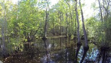 Great Dismal Swamp Wetland Pond Swamp Water And Flooded Trees In Summer
