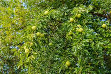 The Fruits Of Maclura Pomifera (osage Orange, Horse Apple, Adam's Apple) Grow In The Wild On A Tree. Fruits Are Used In Alternative Medicine.