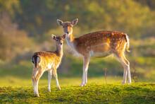 Fallow Deer Fawn Dama Dama In ...