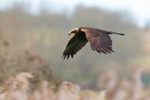Western Marsh Harrier, Circus Aeruginosus, Bird Of Prey Hunting