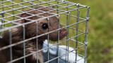 Fototapeta Zwierzęta - Kuna w klatce. Zwierzę w klatce.