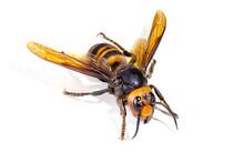 Asian Giant Hornet On White Ba...