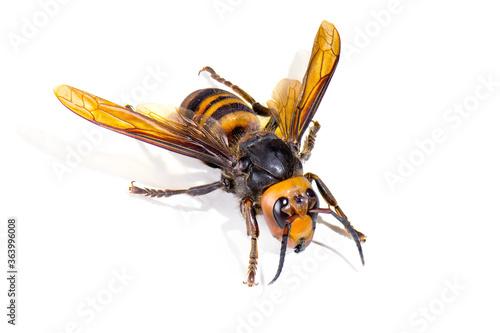 Asian giant hornet on white background Canvas Print