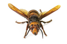 "Asian Giant Hornet On White Background. The World's Largest Hornet Known As Horrible ""murder Hornet""."