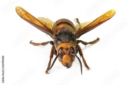 Fotomural Asian giant hornet on white background