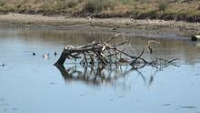 Ducks Swimming By A Piece Of Driftwood In The Malibu Lagoon Bird Sanctuary