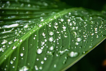 Transparent Rain Water On A Green Leaf Of A Canna Plant. Close Up Photo. After Heavy Rain, Flowers And Leaves Acquire Their Natural Beauty. Beautiful Background, Focus On Drops