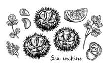 Ink Sketch Of Urchins.