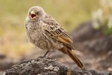 Rufous- Tailed Weaver In Ngoro...