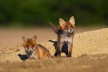 Siblings Red Fox, Vulpes Vulpe...