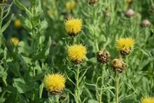 Yellow Giant Knapweed