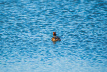 A Lone Duck Chomga Swims In Th...