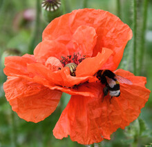 A Bumblebee On A Red Poppy Clo...