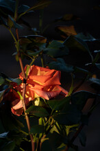 Close Up Of A Beautiful Orange Rosebud Illuminated By Sunlight And Green Leaves