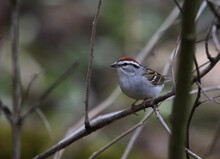 A Chipping Sparrow (Spizella P...