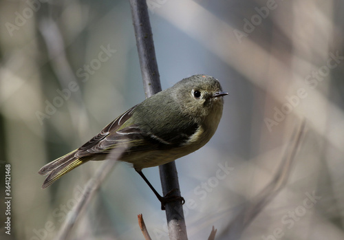 Photo A Ruby-crowned Kinglet (Regulus calendula) perched on a branch in Waterloo, Ontario, Canada
