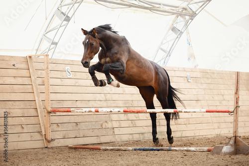 Fotografia old trakehner horse jumping obstacle in summer