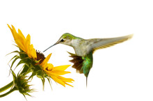 Beautiful Ruby Throated Hummingbird Hovering At A Sunflower, Isolated.