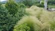 Ostnica piekna trawa w ogrodzie