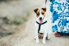 A Small Dog Of The Jack Russel...