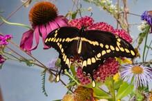 Giant Swallowtail (Papilio Cresphontes) Feeding In The Garden