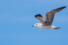 Immature Heuglini's Gull (Laru...