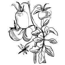 Hand-drawn Stylized Image Of Tomatoes On A Branch. Black And White Image Isolated On A White Background. Idea For Poster, Print, Children's Art, Decor.