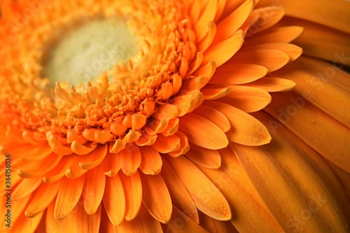 Photo Detail of fully blossoming orange flower of Gerbera Jamesonii, also called Barberton daisy, the Transvaal daisy, and as Barbertonse madeliefie