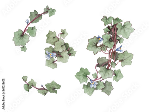 Fotografia, Obraz Isolated kenilworth ivy flower and leaf watercolor painting