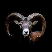 Portrait Of A Wild Sheep Ram