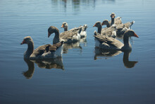Gray Geese On The Lake