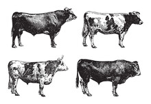 Cow And Bull Collection - Vint...