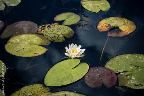 Fotografie, Obraz Pond with water lilies
