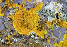 Background Of Yellow Oak Moss