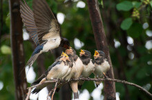 Close Up Photo Of Five Young Birds Swallows Sitting On A Tree Branch Waiting For Food And A Mother Swallow Feeding It Against The Background Of A Green Tree Branch
