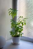 Chili pepper plant in white ceramic pot near window
