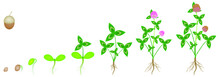 Cycle Of Growth Of A Clover Pl...
