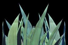 Feuilles épineuses D'agave ...
