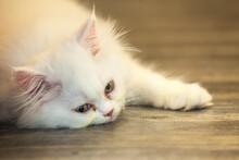 Felis Catus Or Persian Cat Rol...