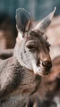 Portret Kangur Z Bliska Twarz łeb W Zoo