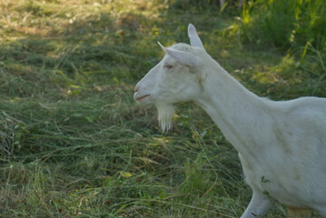 portrait of a white goat in the shade on a meadow
