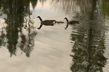 Canada Geese (Branta Canadensis) Swimming In Oxbow Lake;  Grand Teton NP;  Wyoming