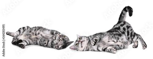 Fototapeta cat  isolated a white background obraz