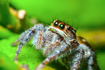 A cute baby spider. Close up the Jumping spider on the leaves. Jumping spiders have some of the best vision among arthropods and use it in courtship, hunting, and navigation.